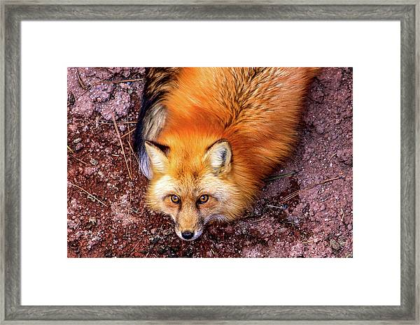 Framed Print featuring the photograph Red Fox In Canyon, Arizona by Dawn Richards