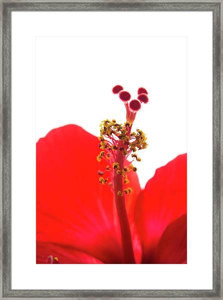 Red Hibiscus Macro Framed Print