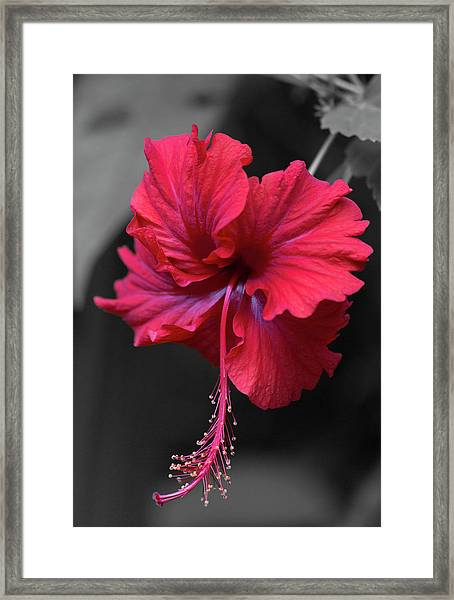 Red Hibiscus Portrait Framed Print