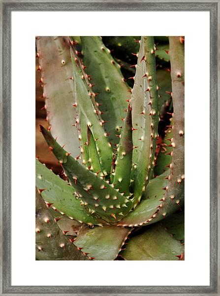 Red-hot Poker Aloe Aloe Aculeata Framed Print by Photos Lamontagne