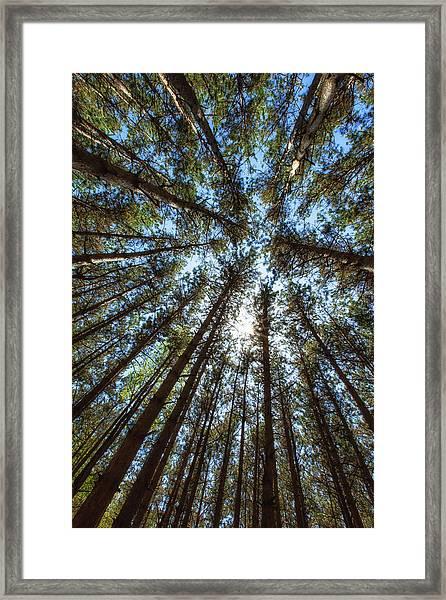 Red Pines 1 Framed Print