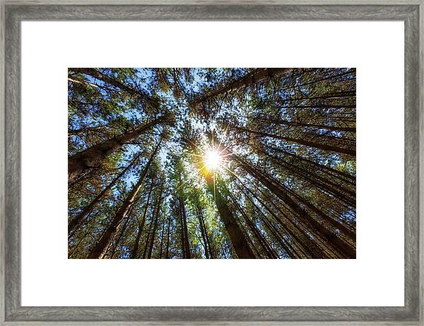 Red Pines 2 Framed Print