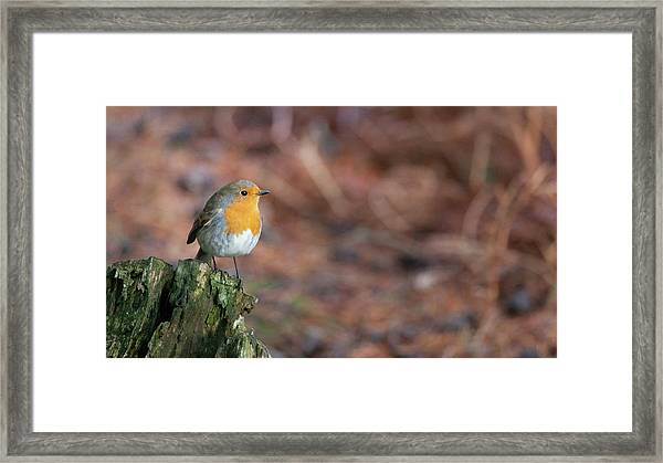 Red Robin In The Woods At Autumn Framed Print