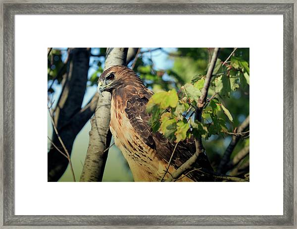 Red-tailed Hawk Looking Down From Tree Framed Print