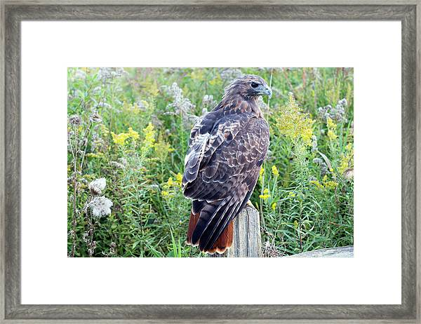 Red-tailed Hawk On Fence Post Framed Print