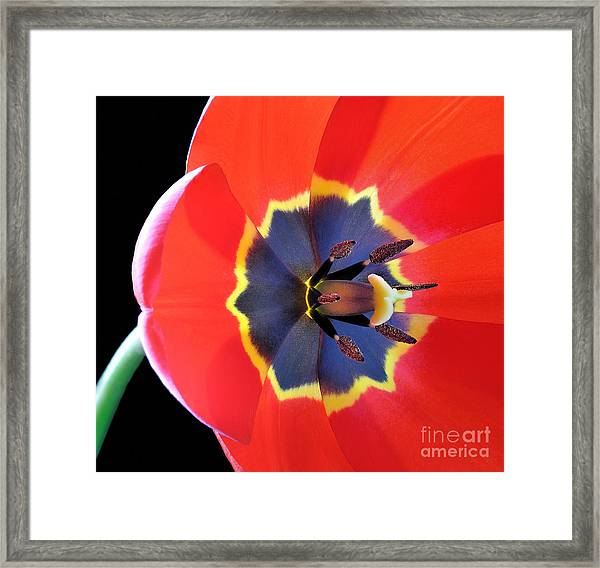 Red Tulip Tulipa - Liliaceae Framed Print