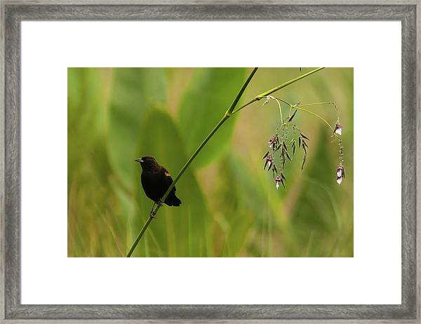 Red-winged Blackbird On Alligator Flag Framed Print