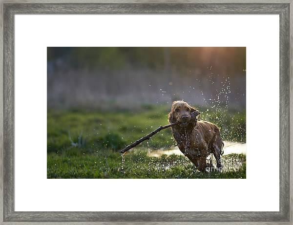 Redhead Spaniel Dog Running With A Framed Print