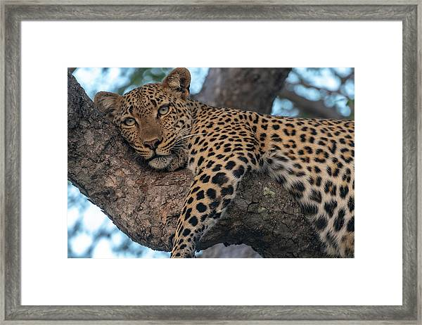 Relaxed Leopard Framed Print