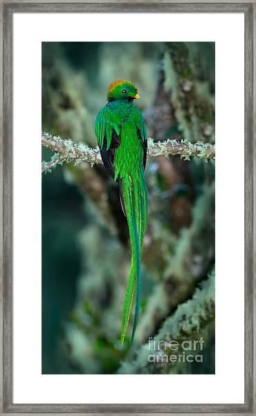 Resplendent Quetzal, Pharomachrus Framed Print