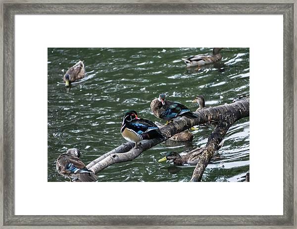 Resting Ducks Framed Print