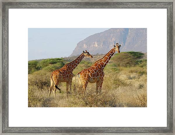 Reticulated Giraffe, Giraffa Framed Print