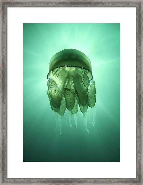 Rhizostoma Pulmo Jellyfish Framed Print