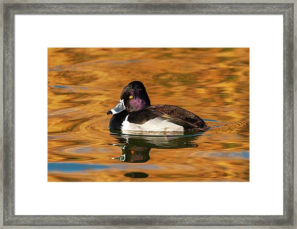 Ring-necked Duck Framed Print