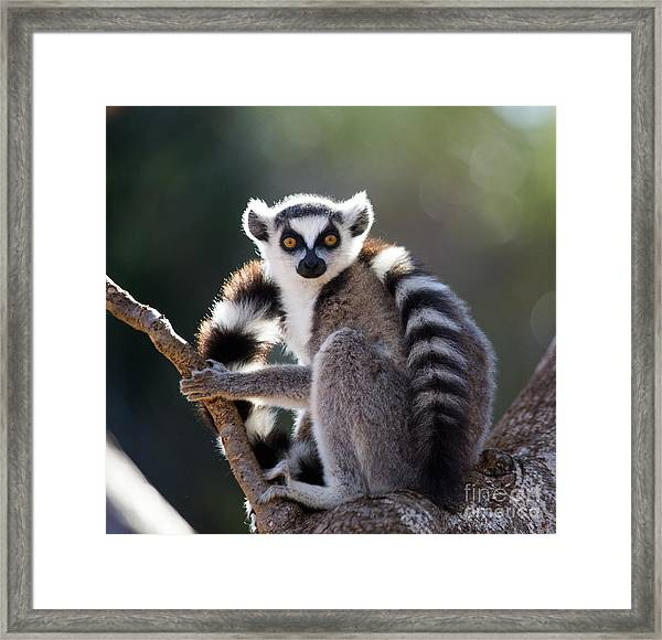 Ring-tailed Lemur Sitting On A Tree Framed Print