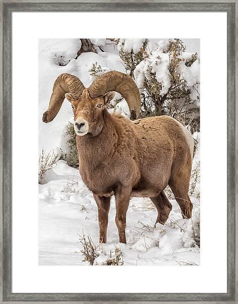 Rio Grande Bighorn Framed Print