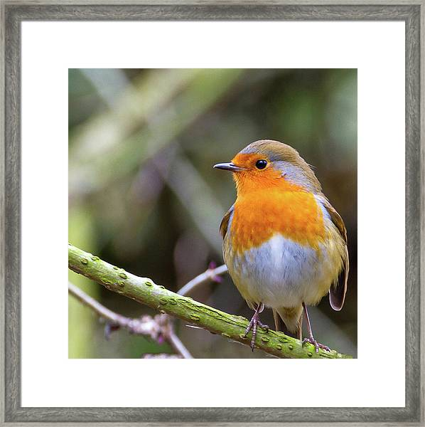 Robin. On Guard Framed Print