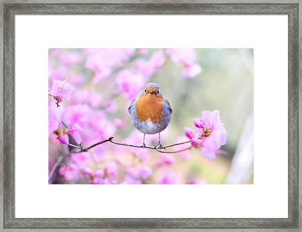 Robin On Pink Flowers Framed Print