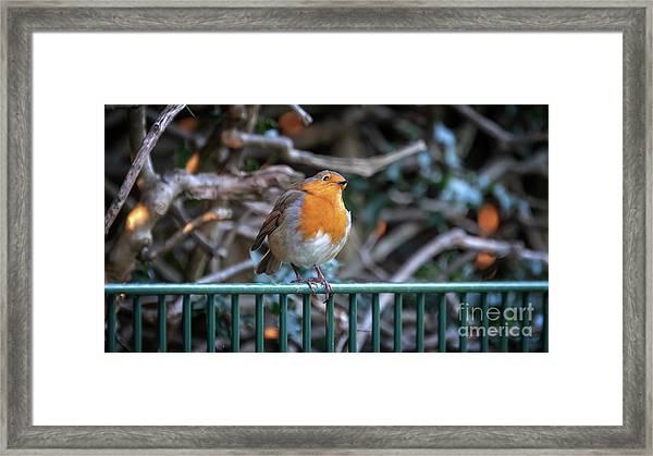 Robin Perched On A Rail Framed Print