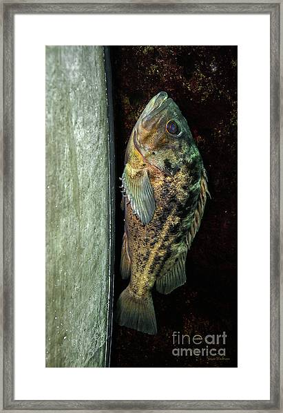 Rockfish Relaxing Framed Print