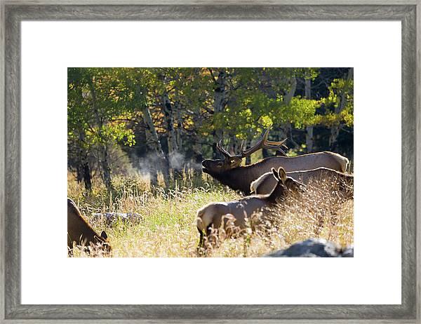 Rocky Mountain Bull Elk Bugeling Framed Print