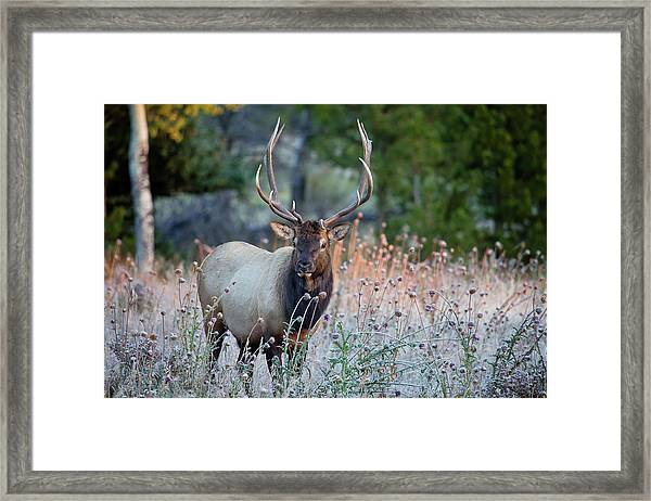 Rocky Mountain Wildlife Bull Elk Sunrise Framed Print