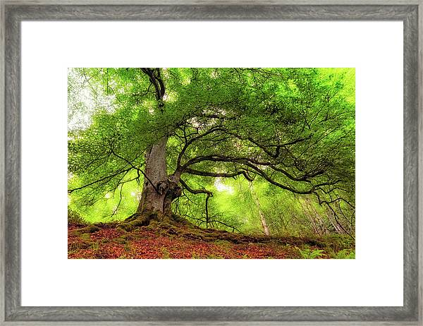 Roots Of Taymouth Estate - Scotland - Beech Tree Framed Print