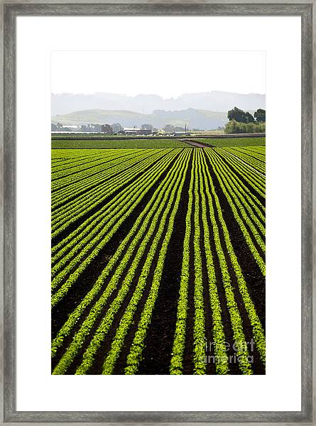 Rows Of Freshly Planted Lettuce In The Framed Print by Dwight Smith