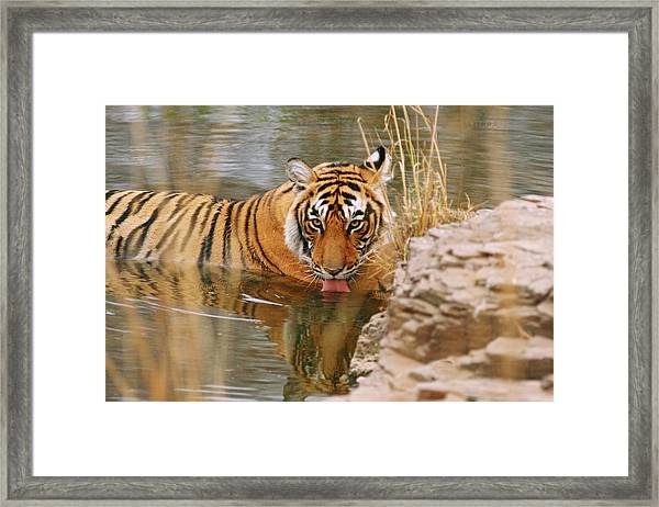 Royal Bengal Tiger Panthera Tigris Framed Print