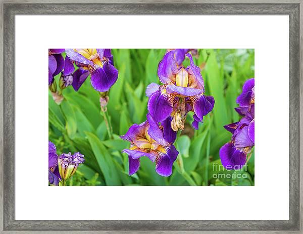 Royal Purple Irise Framed Print