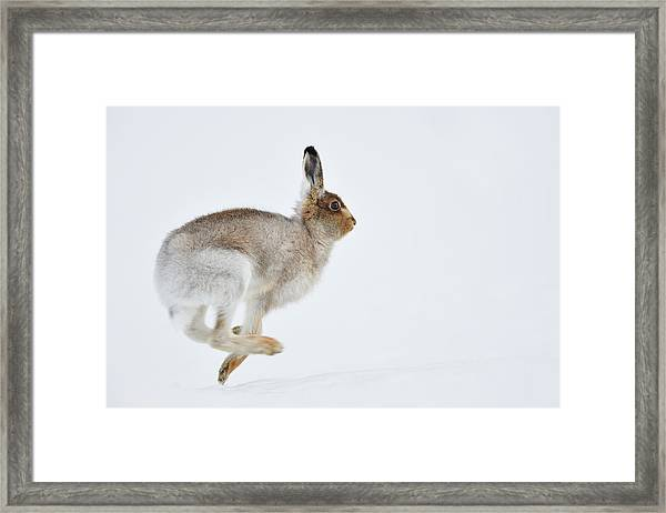 Running Mountain Hare Lepus Timidus Framed Print