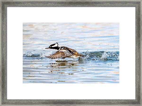 Running Take Off -- Hooded Merganser Framed Print