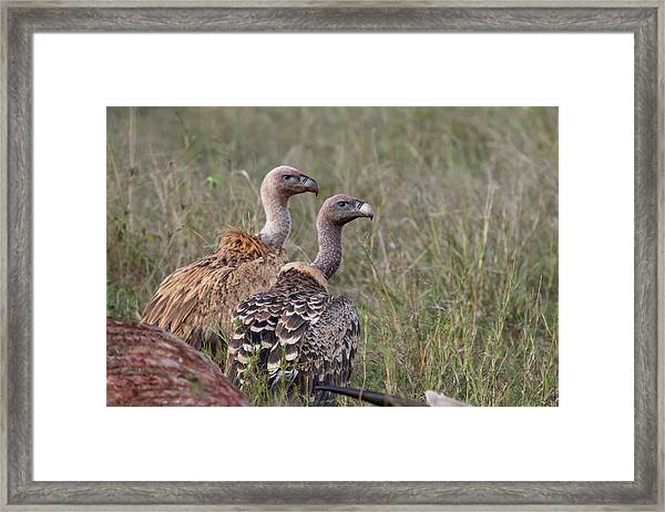 Ruppell's Griffons Framed Print