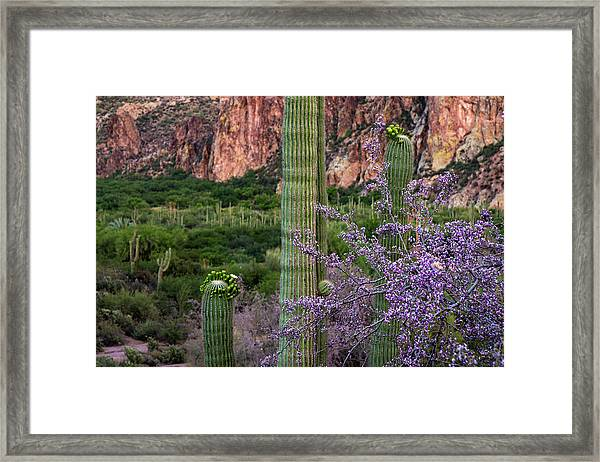 Saguaro Cactus Blooms And Ironwood Close Up Framed Print by Dave Dilli