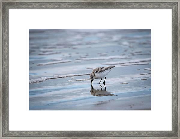 Sanderling Foraging Framed Print
