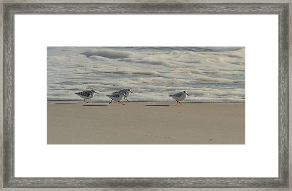 Framed Print featuring the photograph Sanderlings At Assateague Island National Seashore I 1x2 by William Dickman