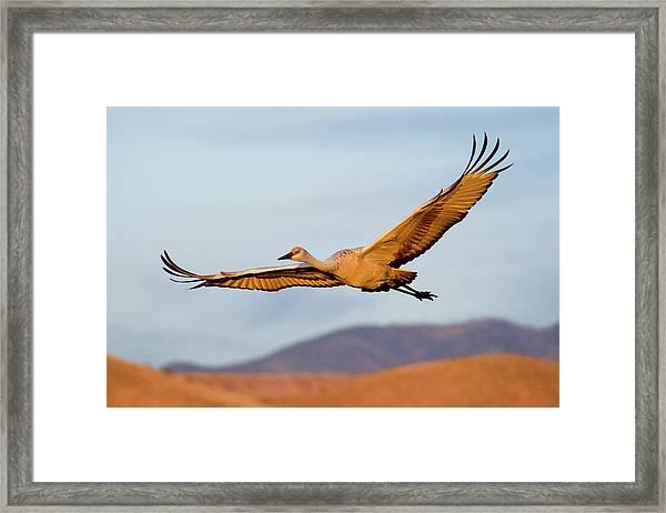 Sandhill Crane Framed Print