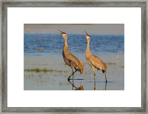 Sandhill Crane Pair Calling Framed Print by Ken Archer