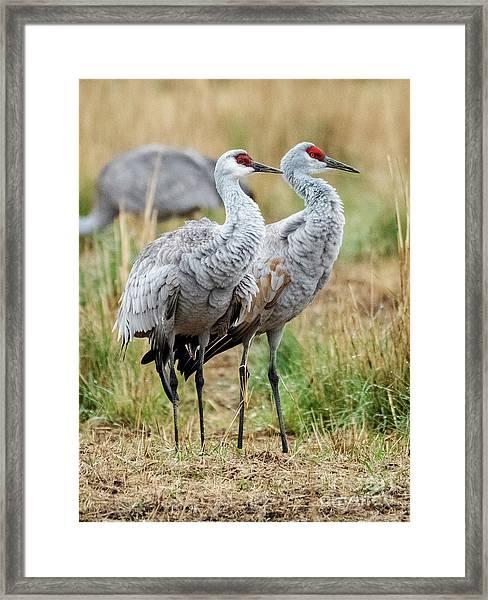 Sandhill Crane Pair Framed Print