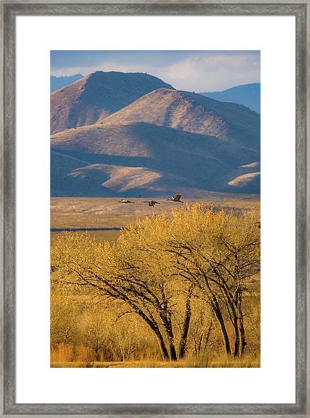 Sandhill Cranes Near The Bosque Framed Print