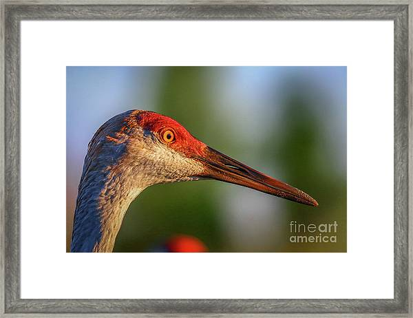 Framed Print featuring the photograph Sandhill Sunlight Portrait by Tom Claud