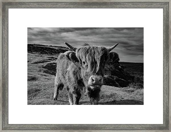 Saying Hello To A Highland Cow At Baslow Edge Black And White Framed Print