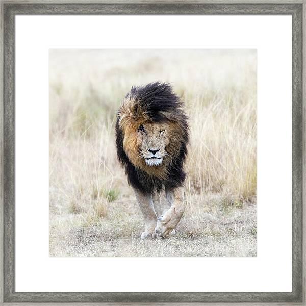 Scar The Lion Framed Print
