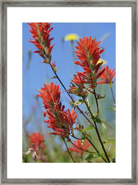 Scarlet Indian Paintbrush At Mount St. Helens National Volcanic  Framed Print