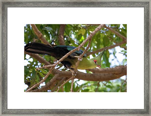 Schalow's Turaco Framed Print