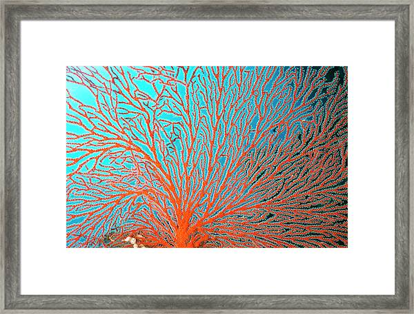 Sea Fan The Fine Network Of Arms Bear Framed Print