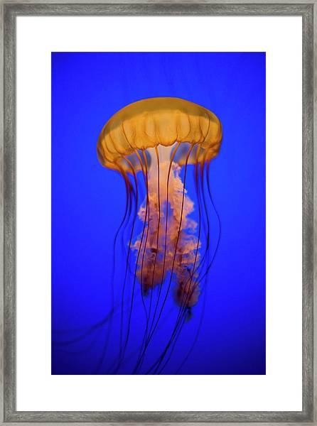 Sea Nettle Jellyfish Chrysaora Framed Print by Patrick Strattner