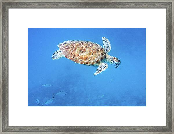 Sea Turtle And Fish Swimming Framed Print
