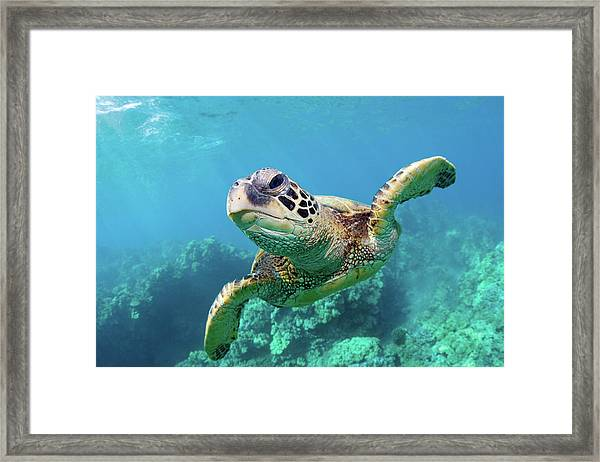 Sea Turtle, Hawaii Framed Print by M Swiet Productions