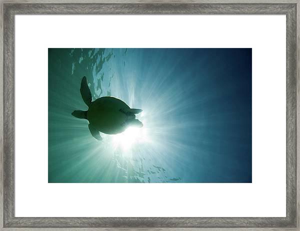 Sea Turtle Framed Print by M.m. Sweet